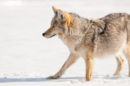 Late Season Coyote Calling Tips