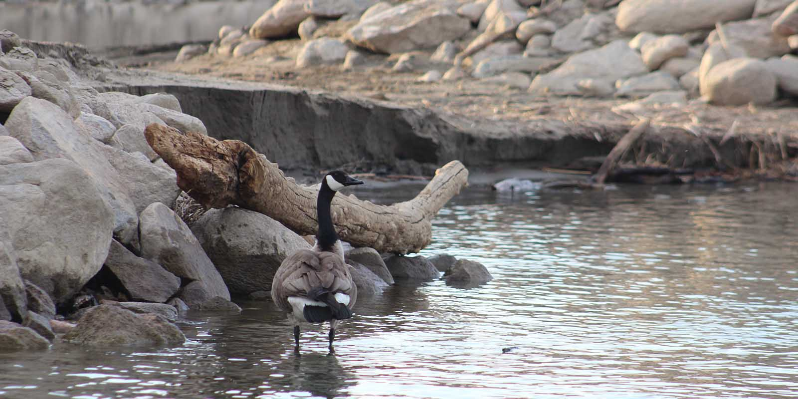 Canada Goose Standing in River