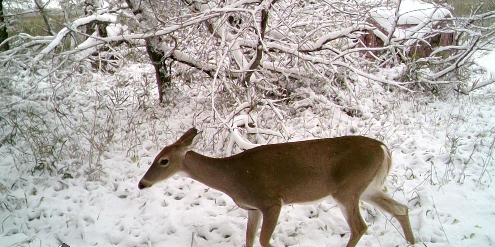Doe on Camera with Blind Snow