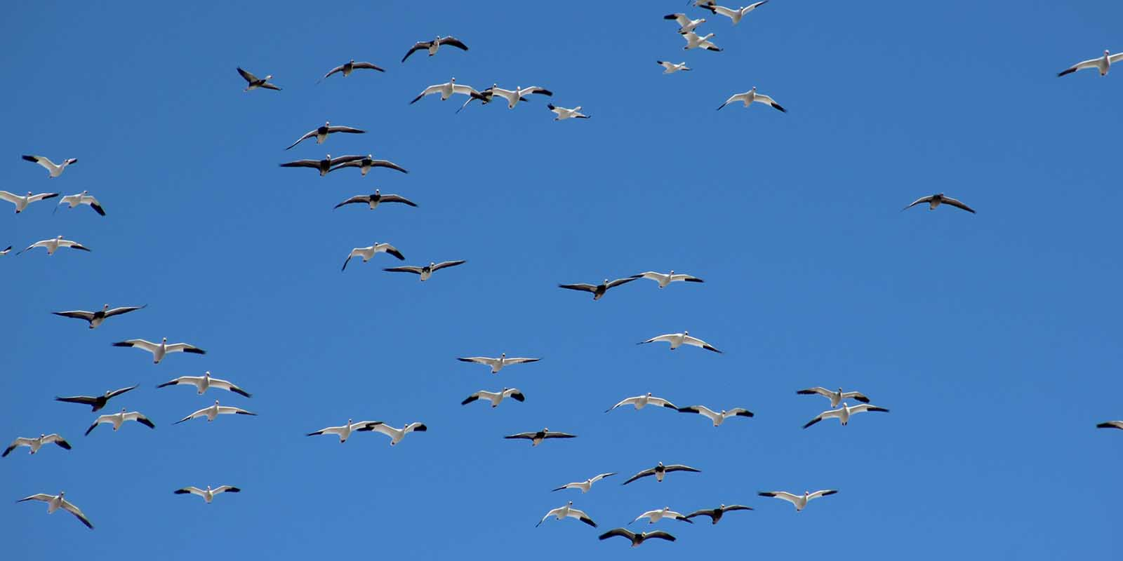 Snow Geese Flying Overhead Spring 2018
