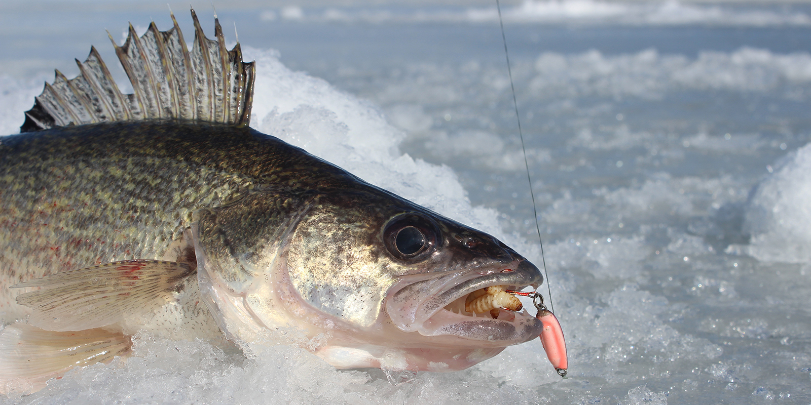 Walleye on ice with Buckshot